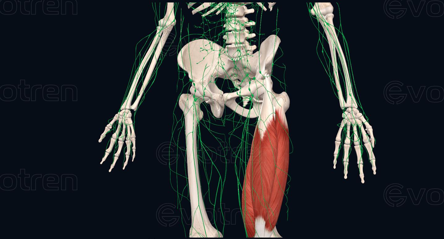 Лимфатическая система бедра