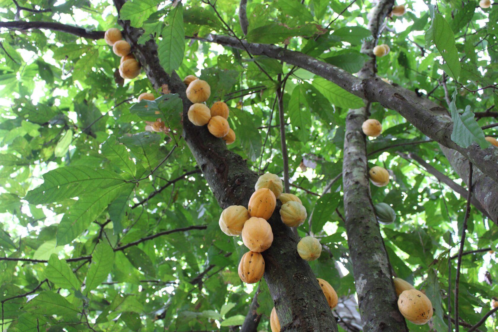 Fruto ocorre em abundância nas florestas próximas ao Rio Iaco, no Acre (Foto: SOS Amazônia)