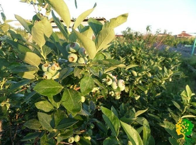 Разновидности с крупными плодами и высокими показателями урожайности используют для закладки промышленных и частных плантаций