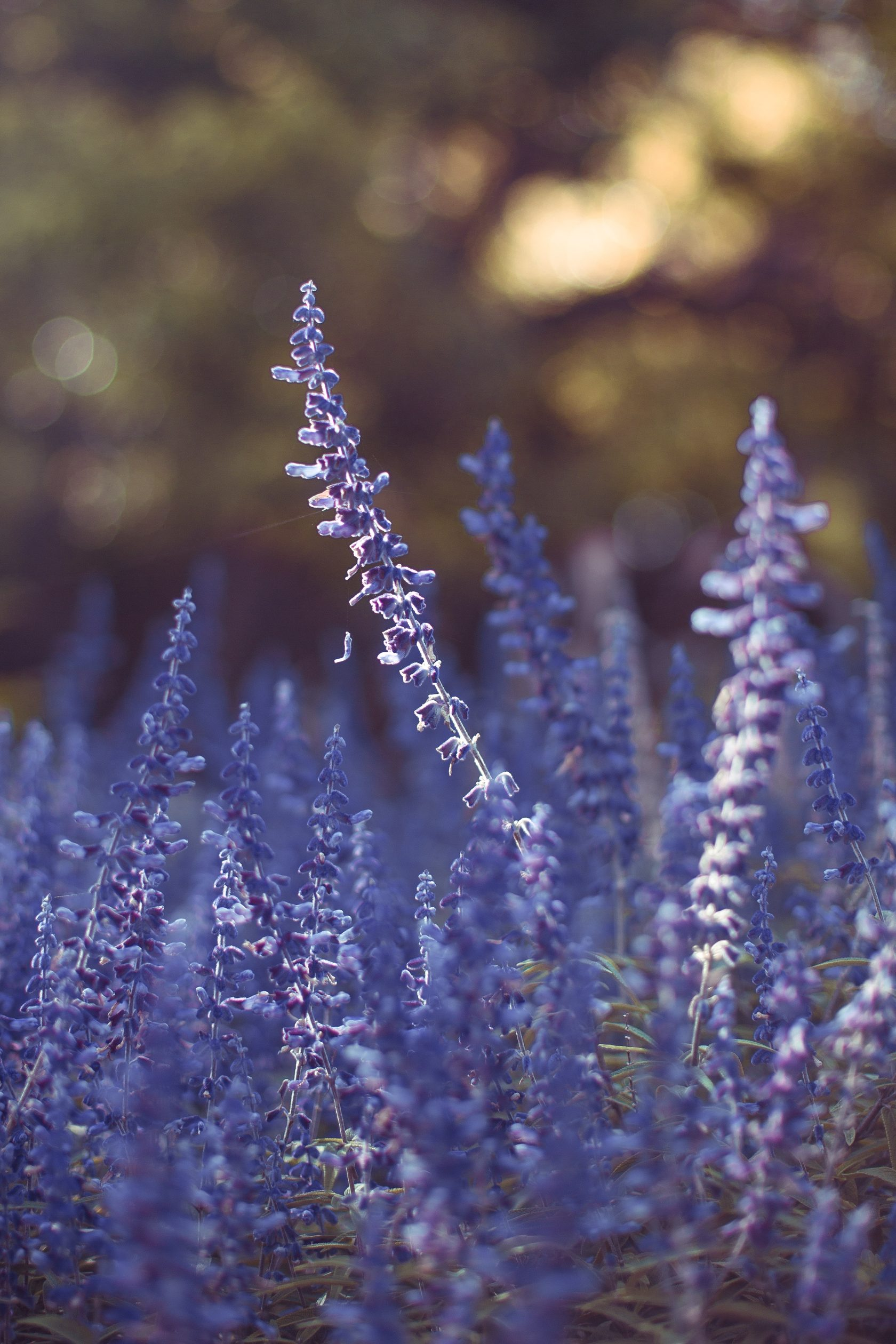 """<div style=""""color:#a08b87;"""" data-customstyle=""""yes"""">Lavender Oil</div>"""
