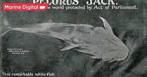 Pelorus Jack, a Risso's dolphin
