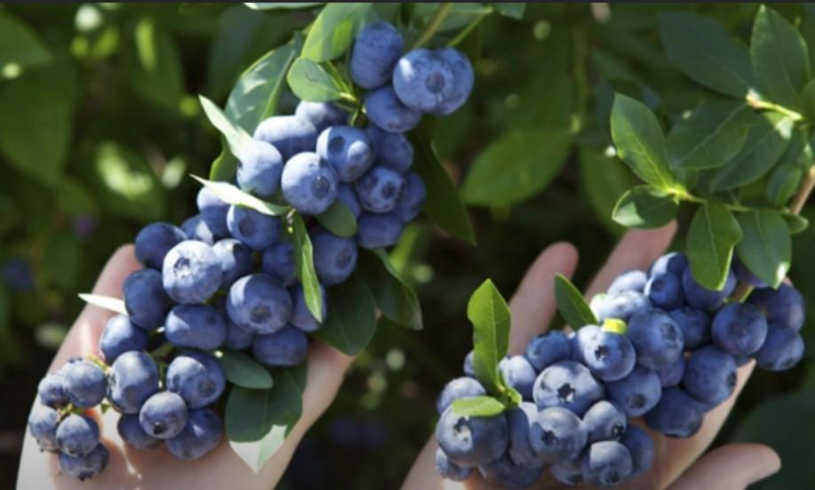 Кисти голубики Торо похожи на виноградные грозди