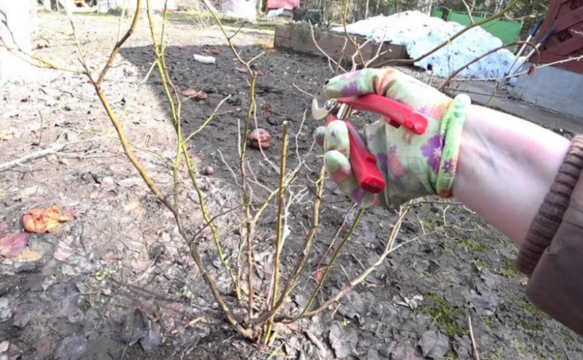 Слабые побеги отнимают питательные вещества у плодоносящие ветвей, потому их срезают