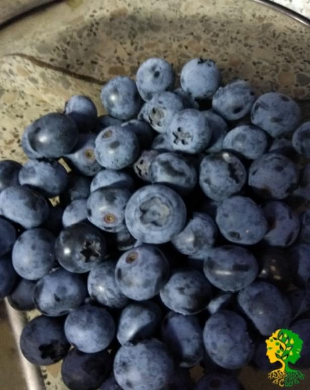 Плоды голубики созревают неравномерно. Поэтому при сборе урожая с куста снимают только хорошо созревшие ягоды – место отрыва должно быть абсолютно синим.