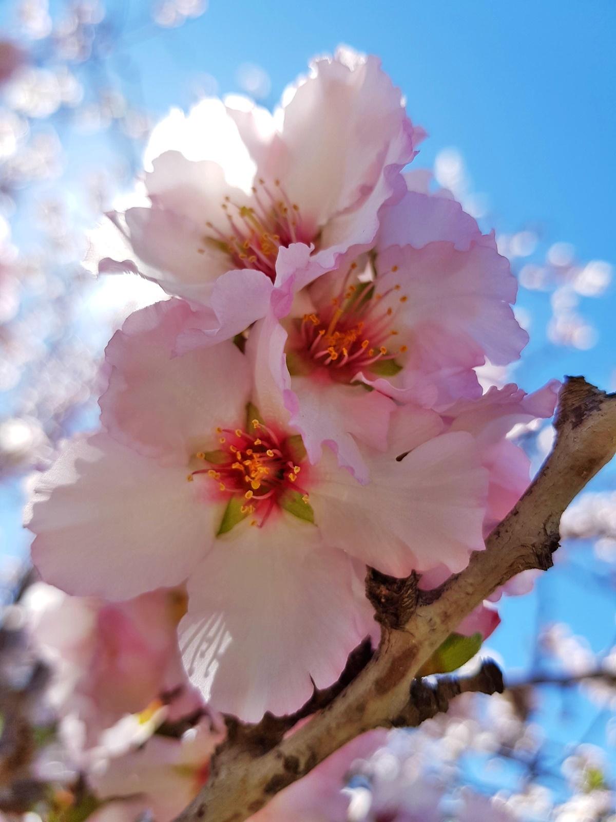 Цветы миндального дерева. Блог Вкусный Израиль.