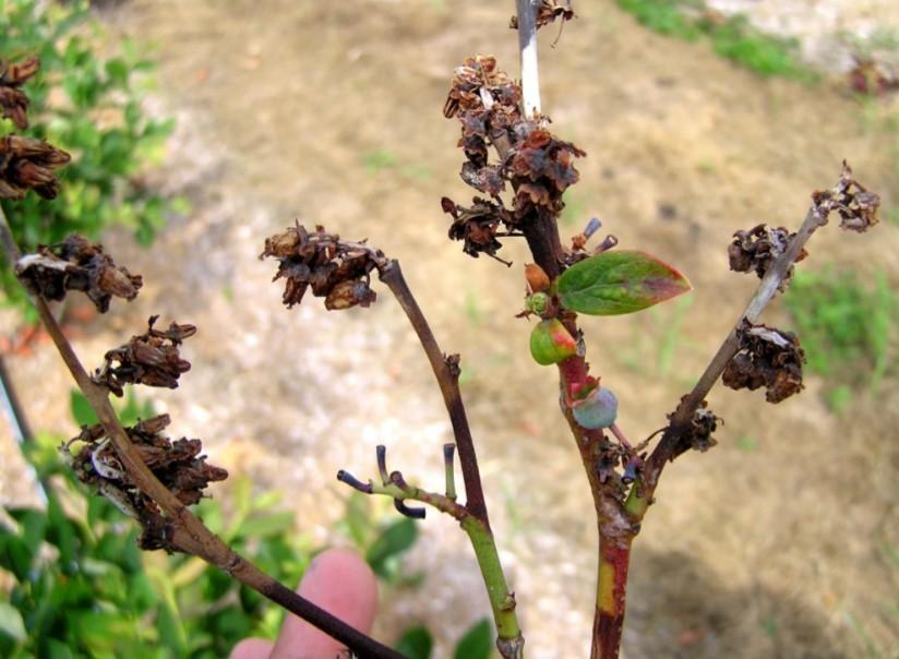 Активные процессы поражения стебля