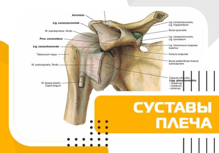 Статья о суставах плеча из обучения по фитнес анатомии