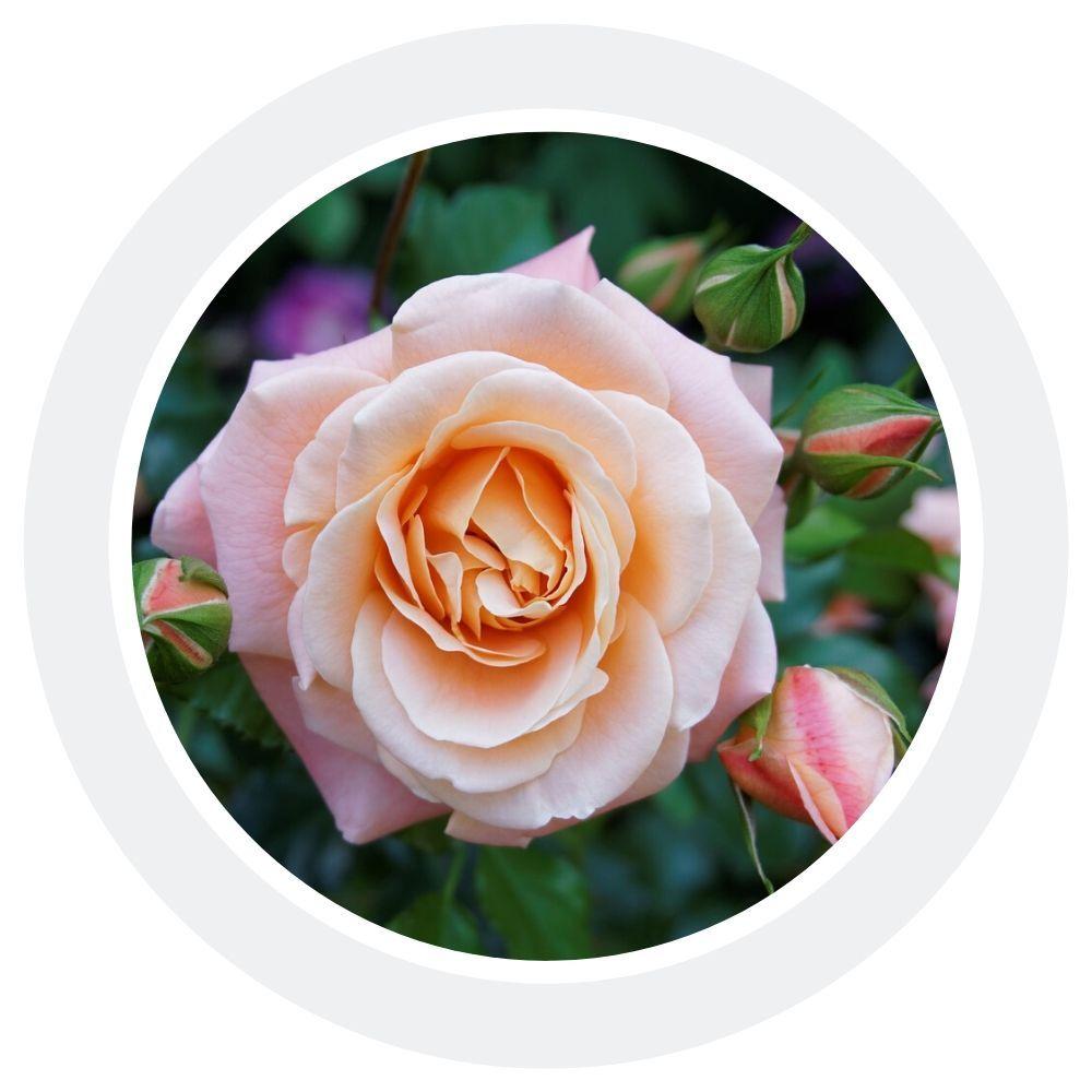 Роза галльская - 100% натуральное эфирное масло