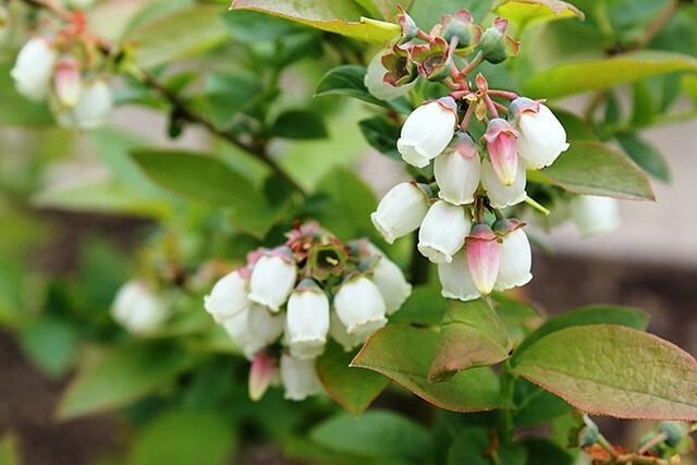 Кусты цветут приблизительно во второй половине мая