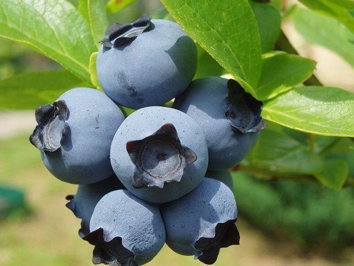 Голубика Река отличается довольно крупными ягодами. При правильном уходе с одного взрослого куста можно получить более 10 килограмм плодов.