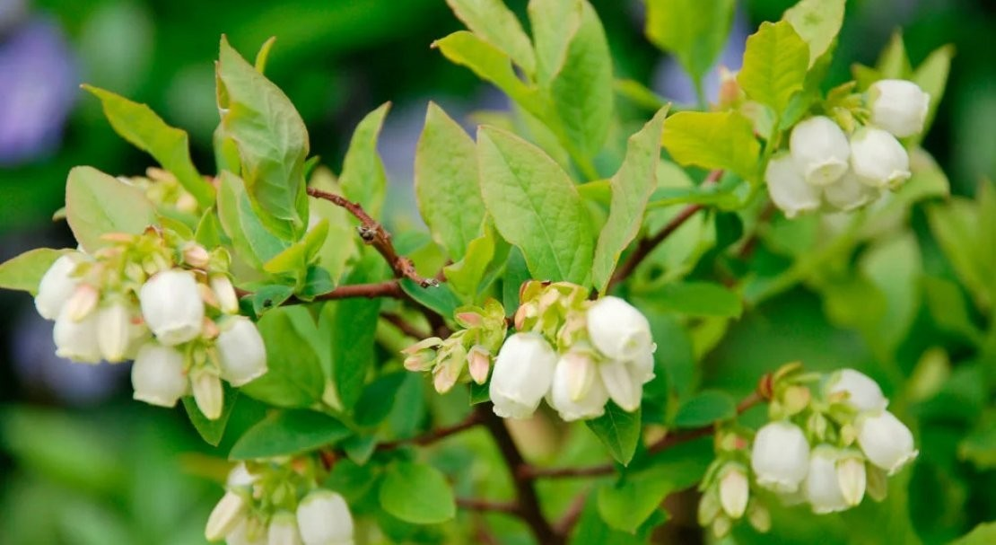 Поздние сроки цветения следует учитывать высаживая на участке растения-опылители