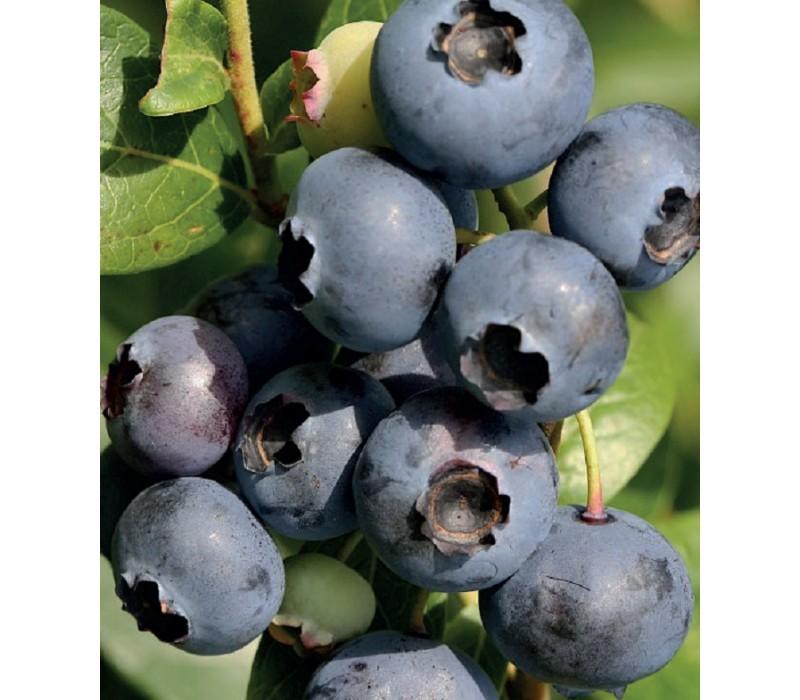 Элизабет выделяется среди своих «сородичей» крупными плодами, обладающими многогранным вкусом