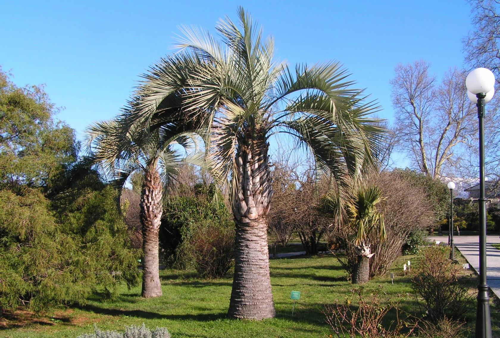 таня пальмовые кустарники растут сочи фото в дендрарий забор