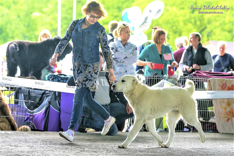 выставка собак. хендлин среднеазиатской овчарки, волкодава, алабая