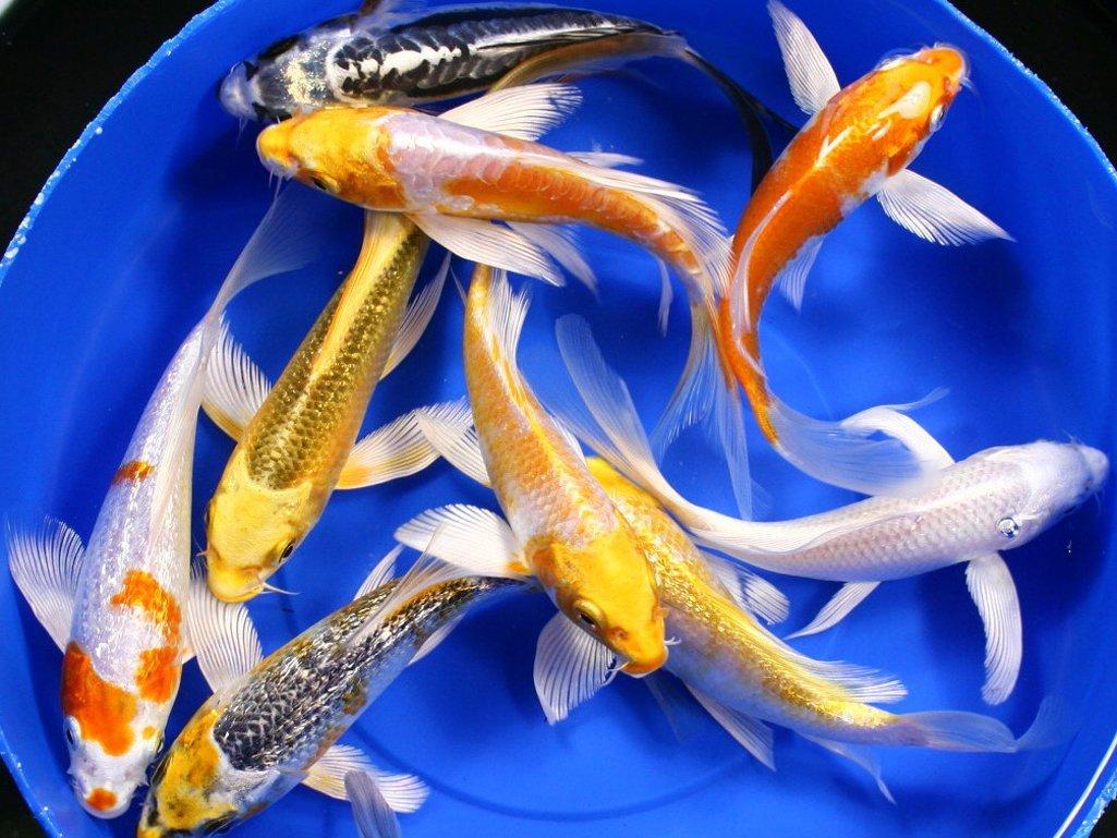 идеальными прудовые рыбы фото и названия черноземья того