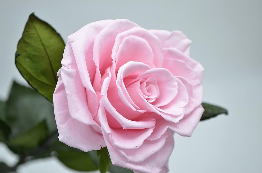 розовая стабилизированная роза
