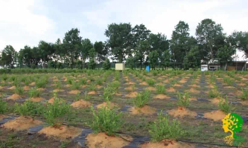 Высаживая голубику на Кубани, необходимо сменить грунт, чтобы обеспечить нужную кислотность, и уложить вокруг куста толстый слой мульчи