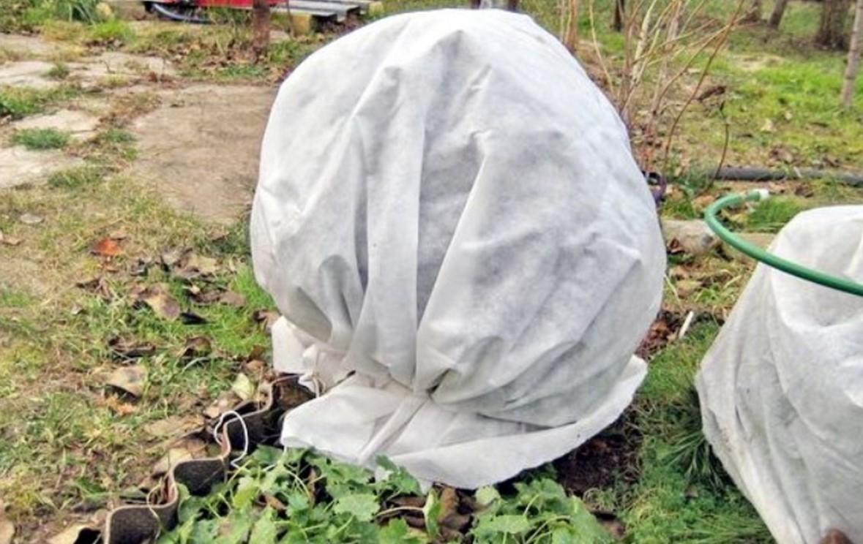 Сигналом для подготовки кустов к зиме служит наступление устойчивых минусовых температур.