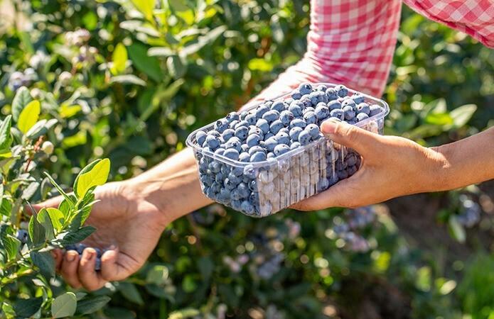 Чтобы плоды не осыпались, собирать их следует сразу после поспевания
