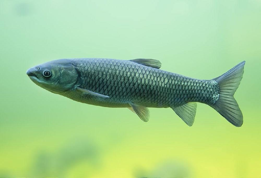 прудовые рыбы фото и названия черноземья две