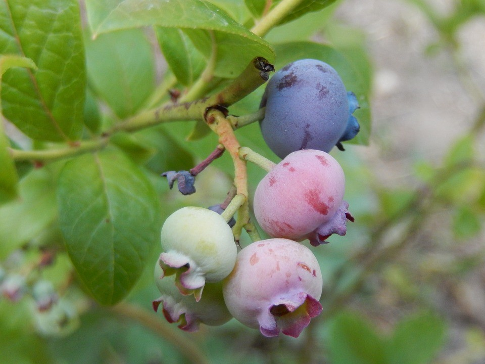 Плоды Бригитты Блю однородные, ягода к ягоде