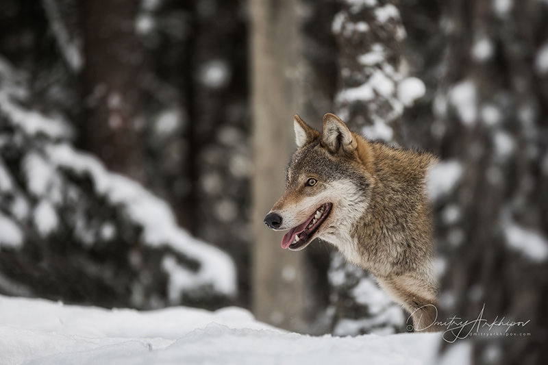 Wolf in the forest, winter