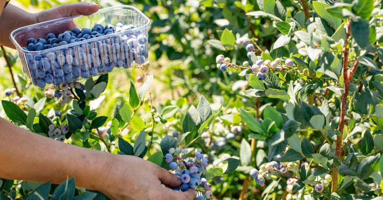 К сбору урожая приступают, когда ягоды окрашиваются в синий цвет. Некоторые сорта медленно набирают сахара, поэтому их оставляют на кусту на 3-5дней дольше.