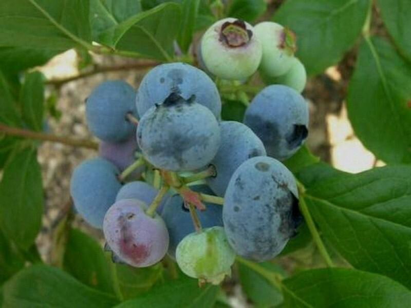 Крупноплодный и высокоурожайный сорт