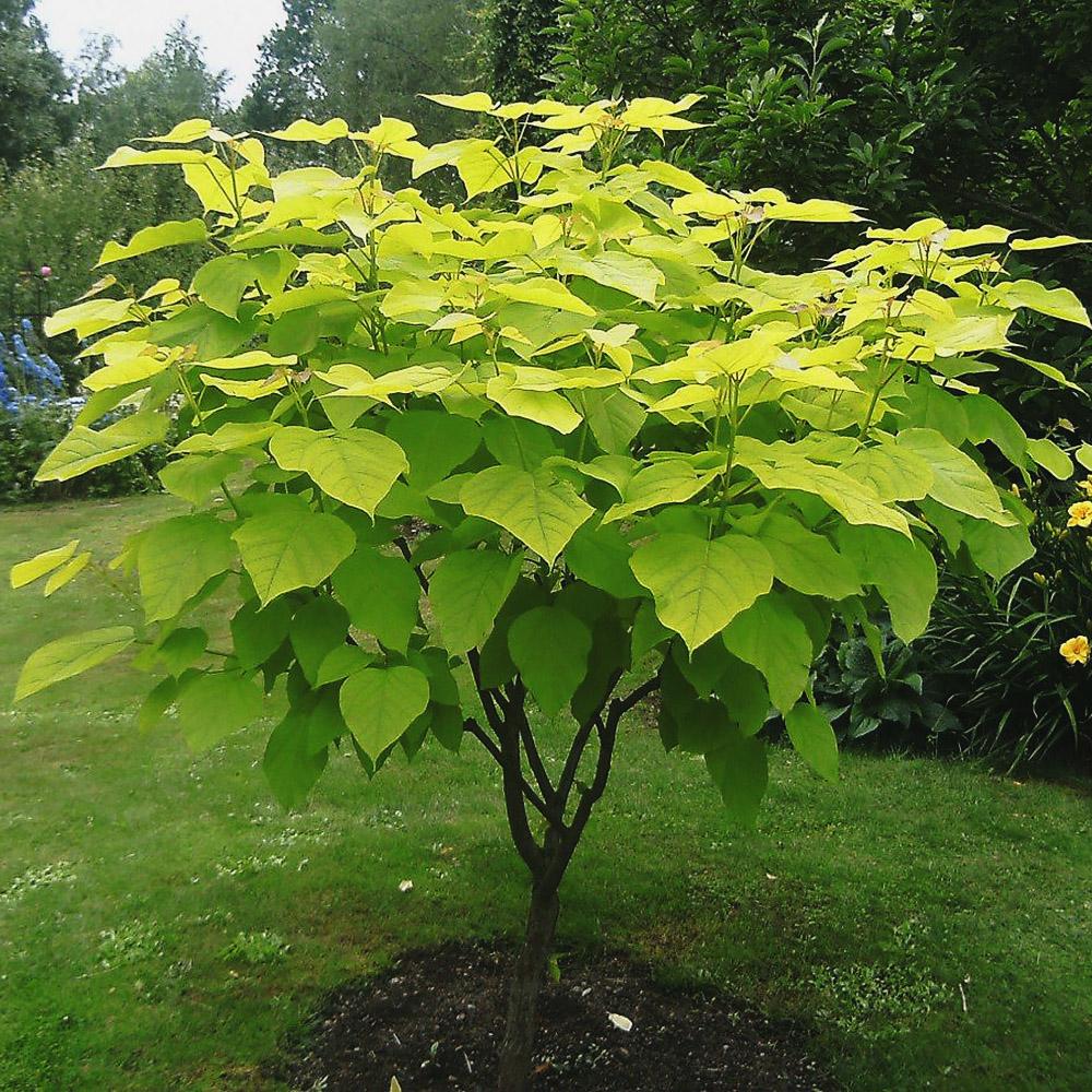 однолюб фото дерева с крупными листьями плед, снуд или