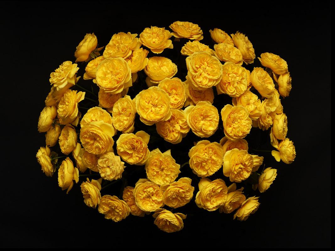 Жёлтые пионовидные розы