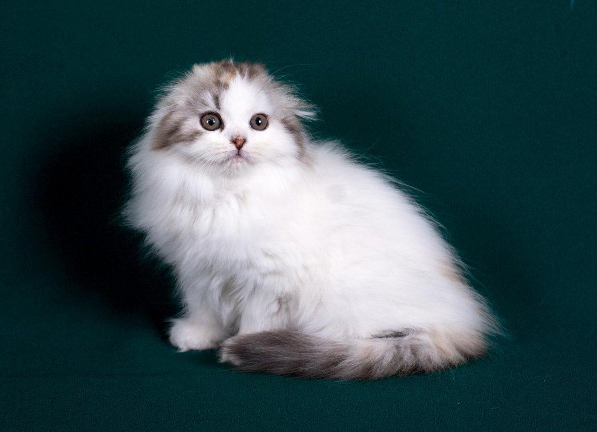 шотландские вислоухие длинношерстные котята фото одной своих статей