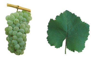 энкрузаду виноград