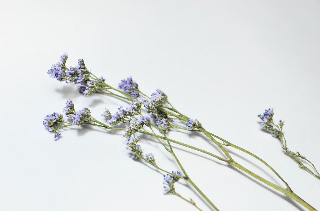 фото сухоцветов на белом фоне