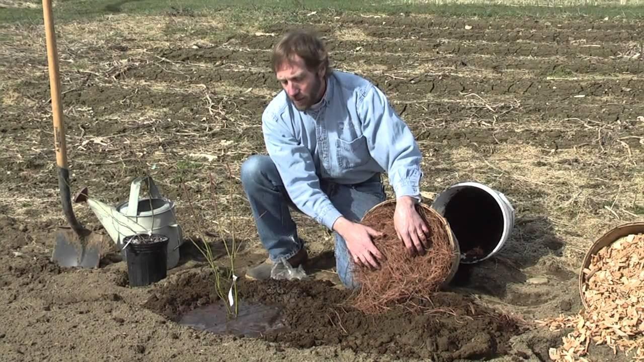 Весной саженцы высаживают до набухания почек
