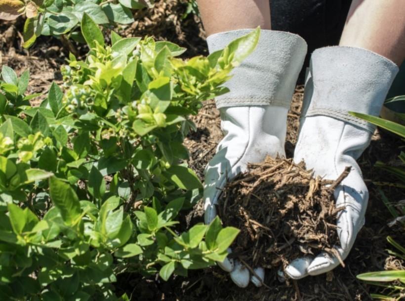 В слое мульчи живут дождевые черви, которые рыхлят почву, обеспечивая поступление кислорода к корневой системе
