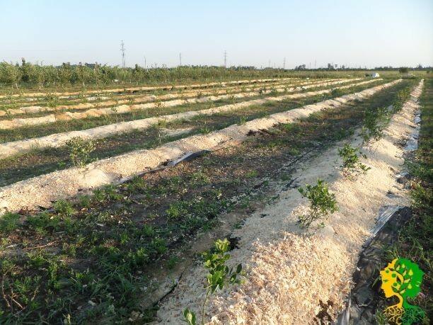 Для получения хорошего урожая голубике Эрлиблю необходима подкормка