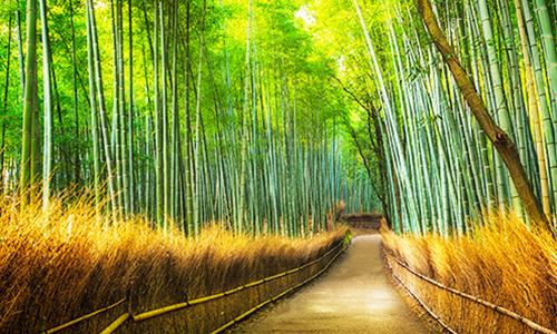 Бамбук наклоняется от ветра в тенистом лесу Арасиямы