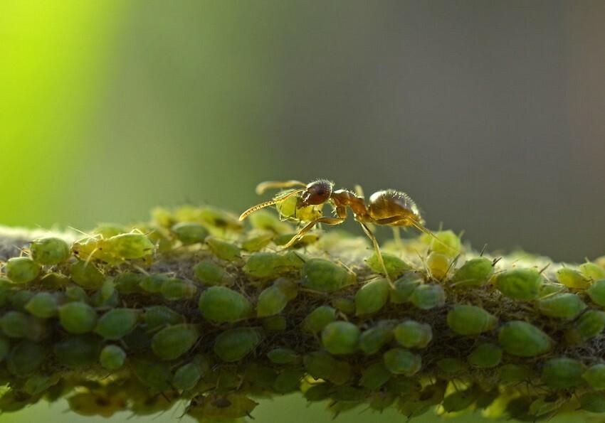 На одном кусте может жить одновременно несколько видов тли