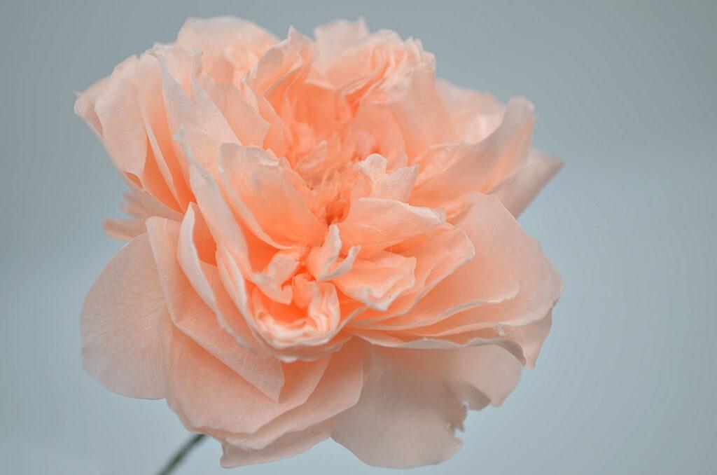 стабилизированная пионовидная роза