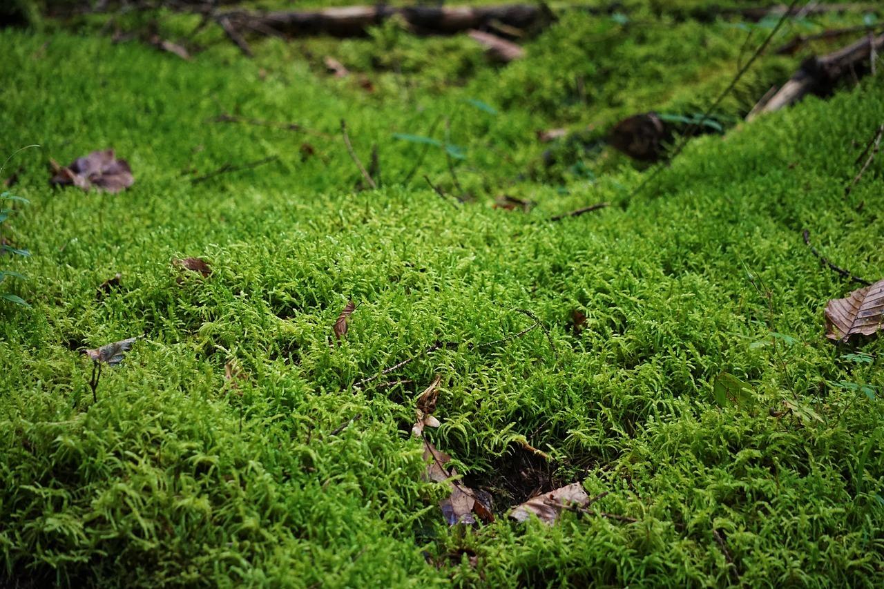 вот фото и описание мхов в сосновых лесах всего