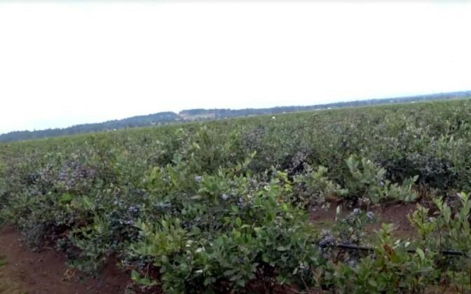 Промышленное выращивание голубики «Спартан»