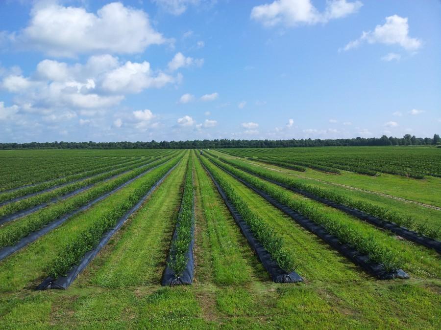 Выращивание голубики в промышленных масштабах как высокодоходный бизнес!
