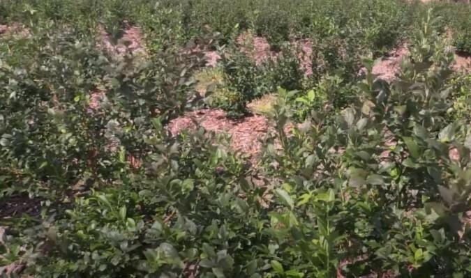 Чтобы заложить плантацию голубики, потребуется должным образом подготовить посадочные площади