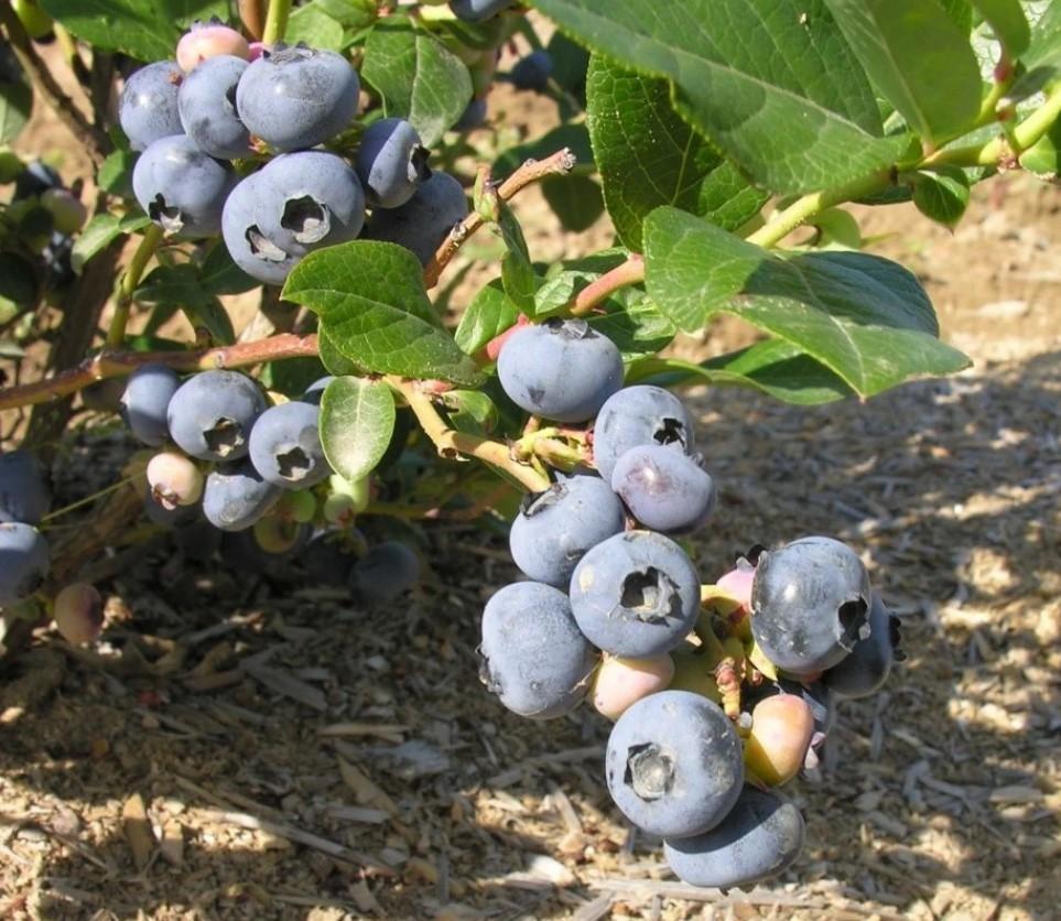 Сорт Патриот получил широкое распространение благодаря высокой урожайности и декоративному виду.