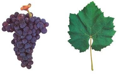 каштелау виноград