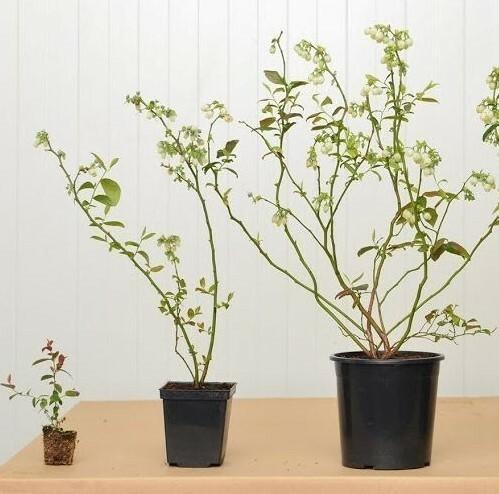 Чтобы растение лучше приживалось, нужно покупать саженцы с питомника, возраст которых не превышает трех лет