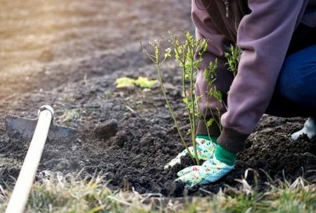 Чтобы повысить урожайность рекомендовано рядом высаживать сорта-опылители