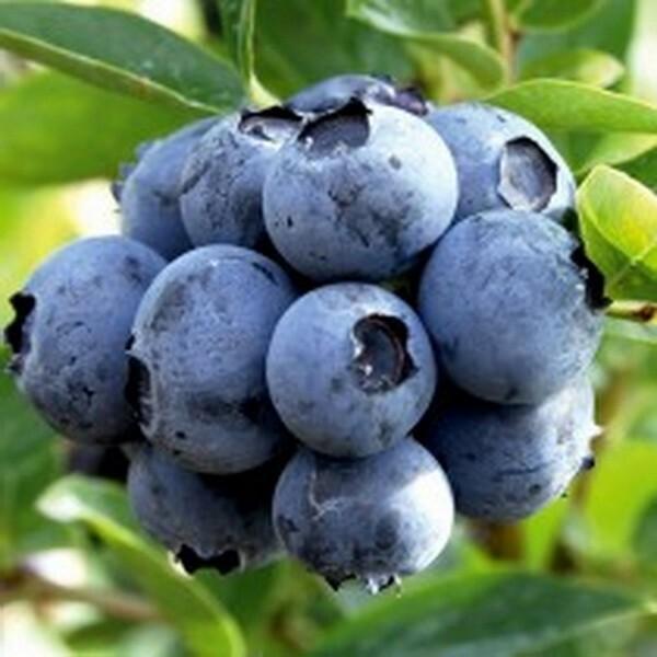 Не особо крупные ягоды содержат большее количество полезных веществ на массу ягоды, нежели крупноплодная голубика