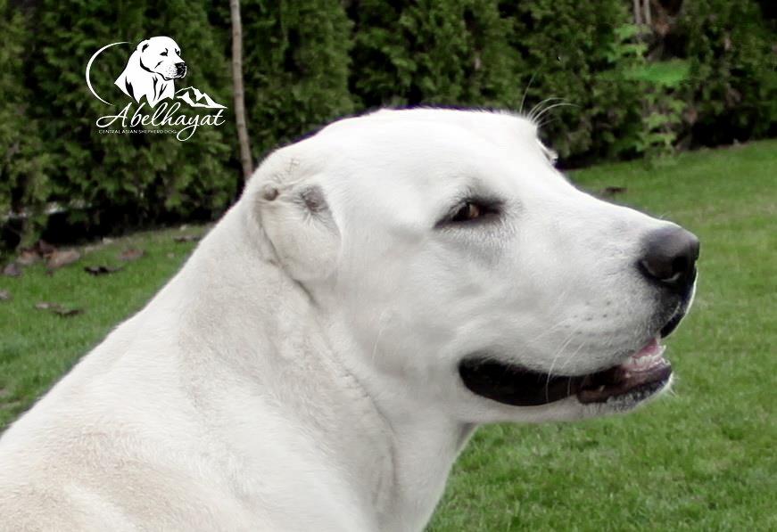 Болезни собак, зхарактреные для среднеазиатской овчарки, алабая