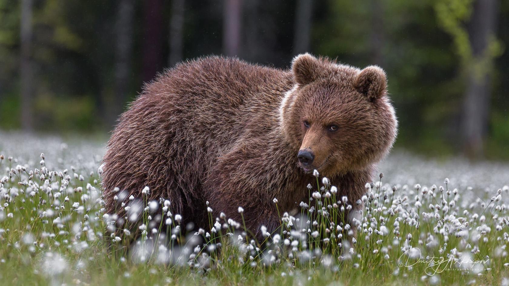 Animal photo wild bears